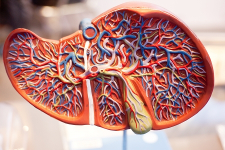 Model of human organs, the liver photo