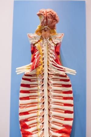 The human spine model,