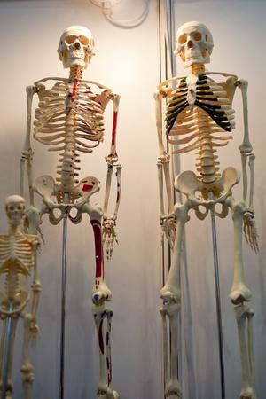 Human Body Model, whole body bone
