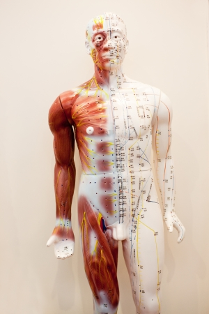 meridians: Mannequin body meridians