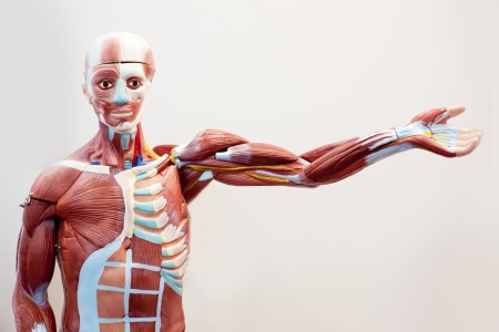 Mannequin body muscle tissue Stock Photo