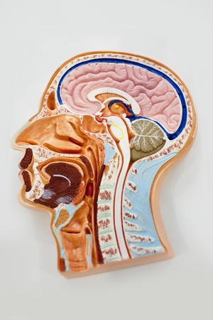 Human body model, brain anatomy diagram photo