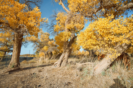 poplars: Desert poplar and horse Stock Photo