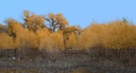 poplar: Desert poplar and horse Stock Photo