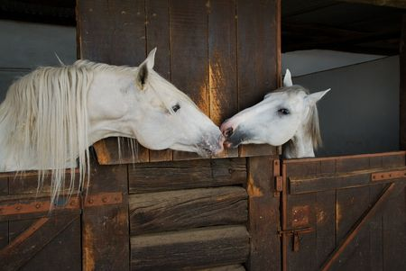 stable: Two white horses kissing in stable Stock Photo