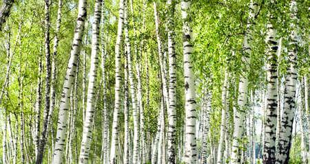 arboleda: bosque de abedul verde de verano