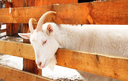 this photo shows a beautiful white goat with horns photo