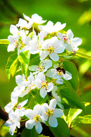 in this photograph shows the beautiful white flowers of apple Stock Photo