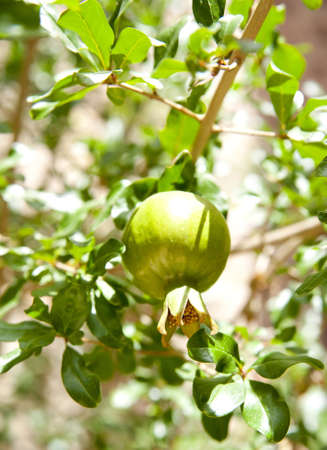 This photograph shows an unripe pomegranate photo