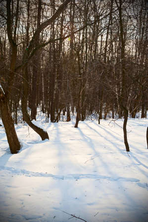 Sunny day in the winter forest photo