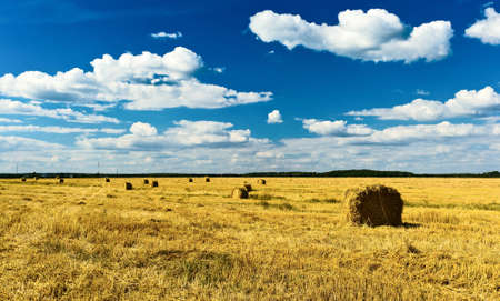 Stacks of collected wheat. The big yellow field after harvesting