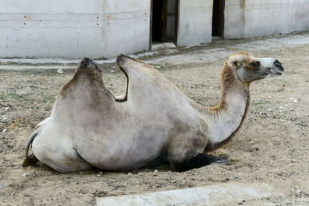 cartage: camel lies in the shadow Stock Photo