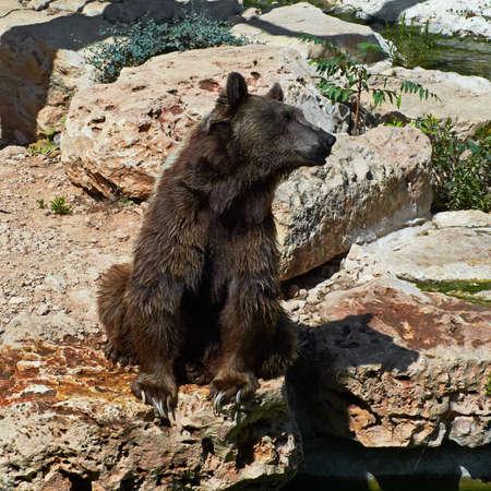 oso negro: el oso pardo es caminar al lado del agua Foto de archivo