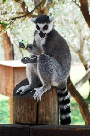striped lemur eats fruit.