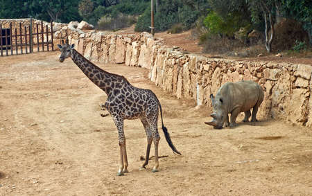 giraffe and rhinoceros in the Jerusalem Biblical Zoo. Israel
