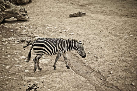 sad zebra is the savanna along the river Stock Photo - 11996722