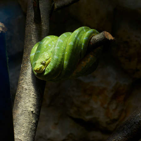 green snake is sleeping on a tree branch photo