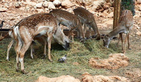 Deer graze in the Biblical Zoo in Jerusalem. Israel Stock Photo - 11996720