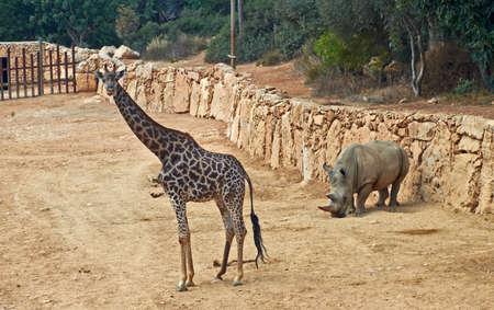ponderous: giraffe and rhinoceros in the Jerusalem Biblical Zoo. Israel Stock Photo