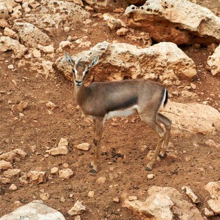 Deer graze in the Biblical Zoo in Jerusalem. Israel Stock Photo - 11996716