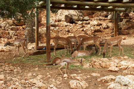 Deer graze in the Biblical Zoo in Jerusalem. Israel Stock Photo - 11996847