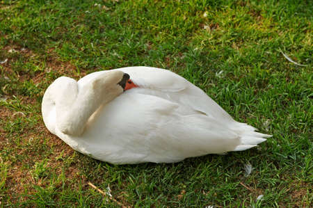 cackle: White goose sleeping on the grass Stock Photo