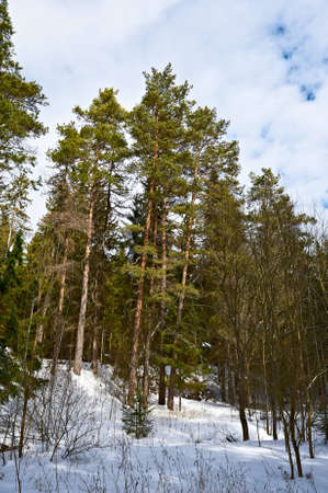 skying: beautiful winter landscape with clouds and forests