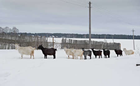 herd of goats walking through the snow photo