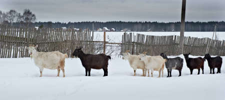 herd of goats walking through the snow Stock Photo