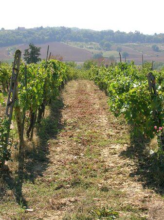 Tuscan vineyard. Banco de Imagens