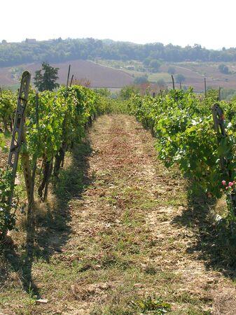 Tuscan vineyard. Banco de Imagens - 683507