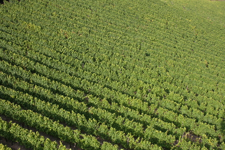 rudesheim: A vineyard in Germany.