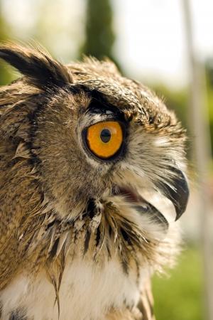 b�se augen: Evil eyes Uhu Bubo bubo