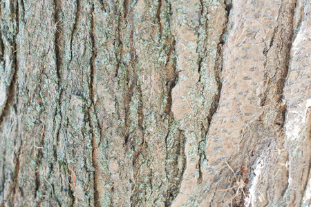 Close up Abstract tree bark background, tree bark, bark photo, bark background, bark macro, forest tree, tree texture, bark texture. Skin the bark of a tree that traces cracking
