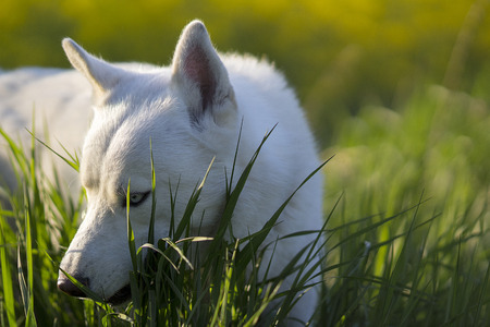 blue eye husky: White Siberian husky dog is lying on the grass in a sunny spring afternoon near the rape field