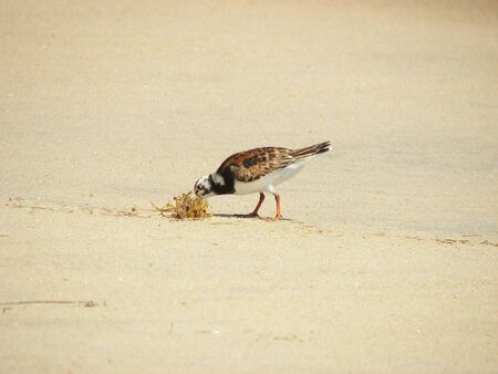 Brown Black and White Sand Piper Eating a Crab photo