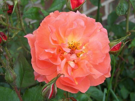 Apricot Colored Rose & Buds