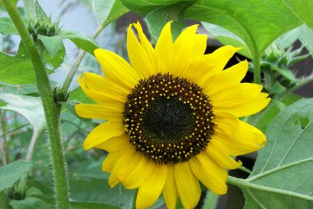 A large yellow Sunflower with large green sunflower leaves & buds around it