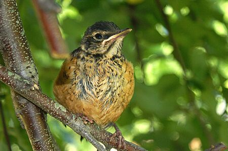 Baby Robin resting after he was fed his lunch. Stock Photo - 5796921