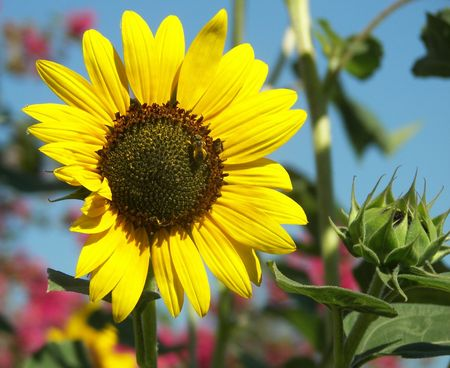 A sunflower with bees and soft pink flowers in the background. photo