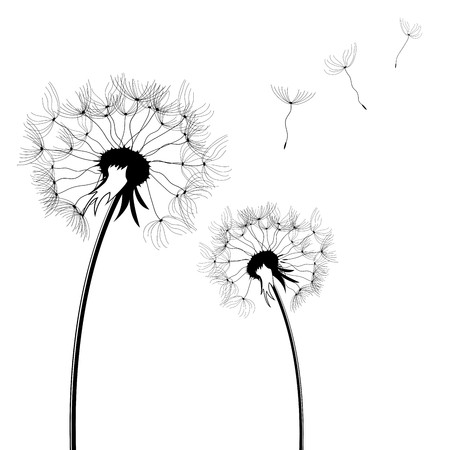 Dandelion silhouettes isolated over white square background photo