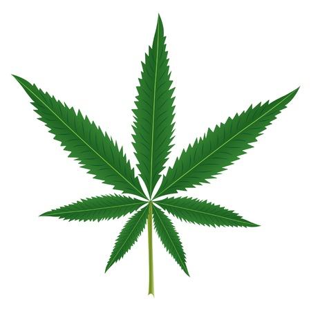 hoja marihuana: Hoja del cáñamo aislada sobre fondo blanco