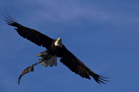 Bald Eagle in flight. photo