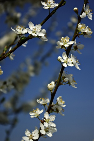 Branches with white blossoms against clear blue sky, blured background.