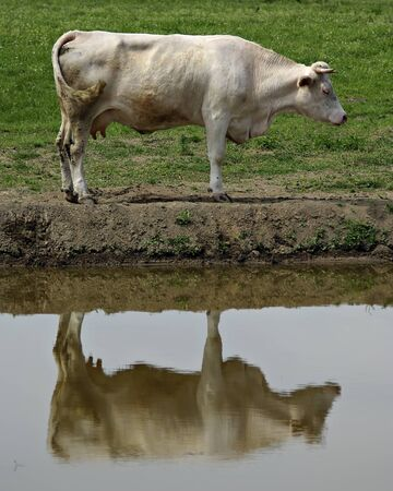 Cow standing near water, green grass in background, reflection in foreground.