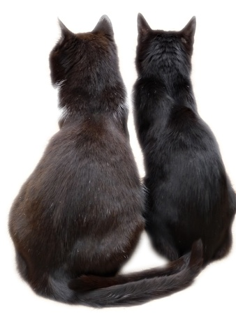 Two black cats viewed from back sitting on floor, isolated on white background.