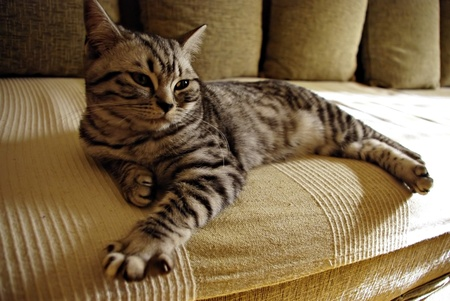 Portrait of british short hair kitten lieing at sofa on sun.