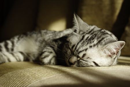 Portrait of british short hair kitten lieing at sofa on sun.