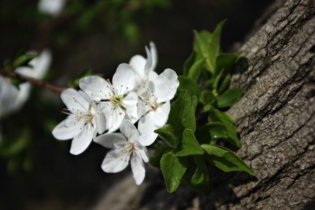 White blossoms and green leaves, cortex in background, background blured.
