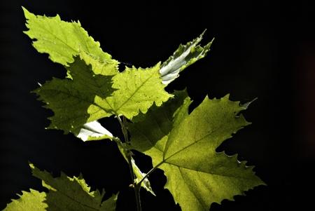 Few green leaves in backlight against dark background.